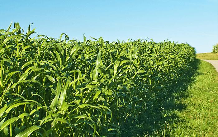Sorghum & Sudan grass GREENGO